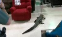 ფლორიდის მაღაზიაში ალიგატორი გაასეირნეს
