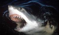 ავსტრალიაში ზვიგენის თავდასხმას გოგონა ემსხვერპლა