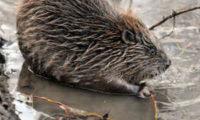 კანადაში მსუქანი თახვი ღობეში გაიჭედა