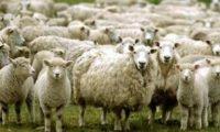 """ბექა გონაშვილი – """"ქართული ცხვრის ფასი 30-40 ლარით გაიზარდა"""""""
