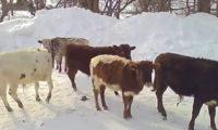 ამერიკელი ფერმერი ჯუჯა ძროხების მოშენებითაა დაკავებული