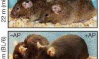 დაბერებადი უჯრედების მოცილება სიცოცხლეს ახანგრძლივებს