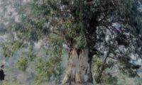 ვის დარჩება ევკალიპტის ხე