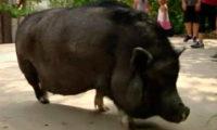 ფლორიდაში ღორი ინგლისურად და ესპანურად ლაპარაკობს