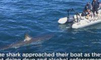 ავსტრალიაში პოლიციის ნავს გიგანტური ზვიგენი აედევნა – ვიდეო