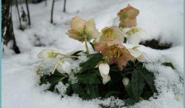 ყვავილი, რომელიც იესოს დაბადების დროს წარმოიქმნა