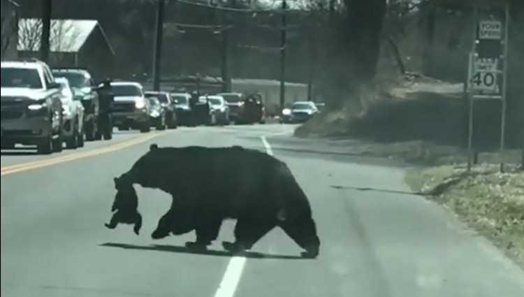 დათვს ცელქი ბელები გზაზე გადაჰყავს - ვიდეო