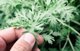 მცენარე, რომელიც კორონავირუსის წინააღმდეგ ეფექტური აღმოჩნდა